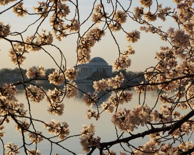 cherry blossoms start dc7