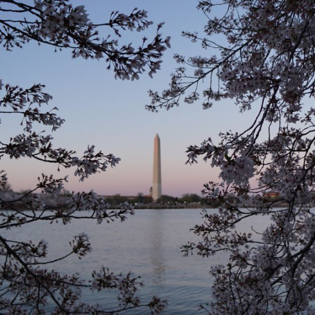 start dc cherry blossoms