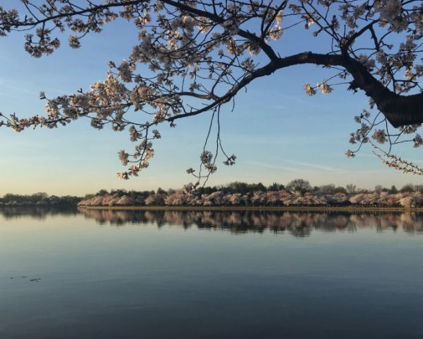 start dc cherry blossoms3